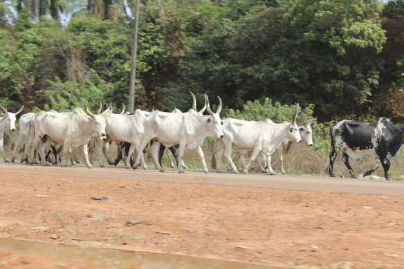 nigerian-cattle